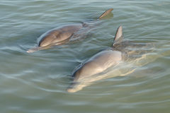 Two lovely dolphins Stock Image