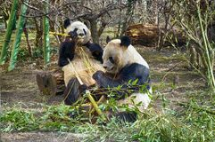 Two lovely giant panda bear eating bamboo. royalty free stock photo