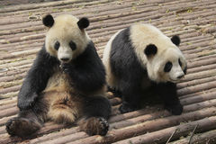 Two lovely giant pandas playing stock photo