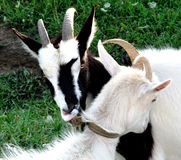Two lovely goats Royalty Free Stock Image