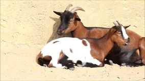 Two lovely goats resting stock footage