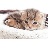 Two lovely kittens Royalty Free Stock Photo