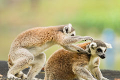 Two lovely Lemur playing Stock Photo