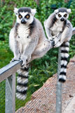 Two lovely Lemur sitting Royalty Free Stock Photos