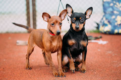Two Lovely Miniature Pinschers Pinchers Staying Together Stock Images