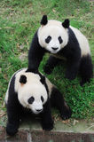 Two lovely Pandas. Two pandas in the zoo Royalty Free Stock Image