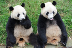 Two lovely Pandas Royalty Free Stock Photography