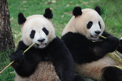 Two lovely pandas eating bamboo