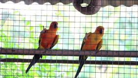 Two lovely parrots. In Thailand stock footage
