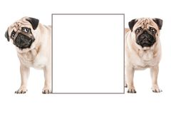 Two lovely pugs hold an empty paper board postcard, poster, pla stock photos