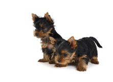 Two lovely puppies Stock Photos