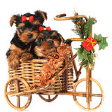 Two lovely puppies in Christmas bicycle Royalty Free Stock Images