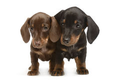 Two lovely puppy dachshunds staying side by side in white studio. Two lovely puppy dachshunds staying side by side in white photostudio stock image