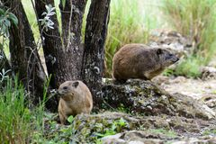 Lovely rock hyrax stock photos