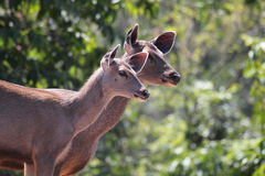 Two lovely sambar deer(rusa unicolor) in an indian forest Stock Photo