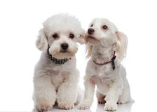 Two lovely seated bichons looking in different directions Stock Images