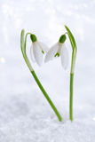 Two lovely snowdrop flowers soft focus Stock Photo