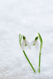 Two lovely snowdrop flowers soft focus Royalty Free Stock Photography