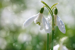 Two lovely snowdrop flowers soft focus Stock Images