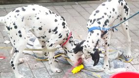 Two lovely spotted dogs stock video