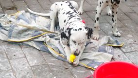 Two lovely spotted dogs stock footage