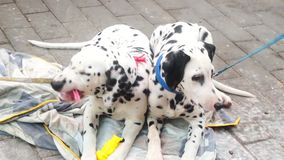 Two lovely spotted dogs stock video footage