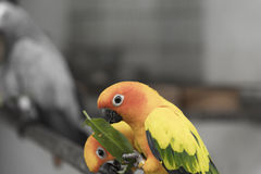 Two lovely sun conure parrots bird eat food Stock Image