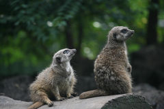 Two lovely suricate. S sitting in the zoo Royalty Free Stock Images