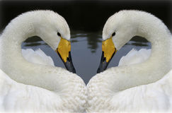 Two lovely swans Stock Photos