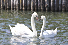 Two lovely swans on a lake. A couple of lovely swans on a lake, forming a heart shape with their necks Royalty Free Stock Photography
