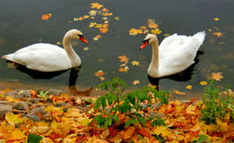 Two lovely swans Stock Photography