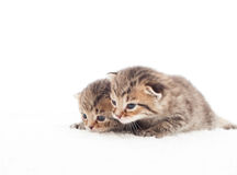 Two lovely tabby kitten Royalty Free Stock Photo