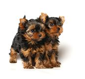 Two lovely yorkshire puppies. Isolated on white background Royalty Free Stock Photo