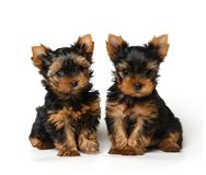 Two lovely yorkshire puppies on white background royalty free stock photo