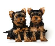 Two lovely yorkshire puppies on white background. Two puppies of the yorkshire terriers isolated on white. 1,5 months old. Bitches Royalty Free Stock Image