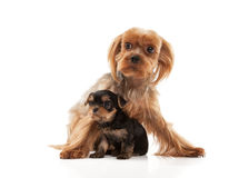 Two lovely young puppies of the Yorkshire Terrier Royalty Free Stock Photos