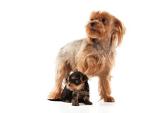 Two lovely young puppies of the Yorkshire Terrier Royalty Free Stock Photo