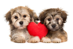 Two lover Havanese puppies lie together with a red heart stock images