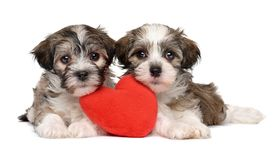 Two lover Valentine Havanese puppies Stock Photos