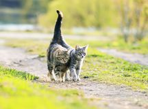 Two lovers cat walking near the juicy Sunny meadow in the sprin stock photos