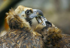 Two lovers eagle Royalty Free Stock Photo