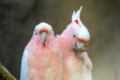 Lovely couple of cockatoos. Two lovers parrot white and pink colors sitting on a branch and cooing stock photography