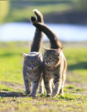Two lovers striped cat walking on green grass next to a Sunny s royalty free stock photo