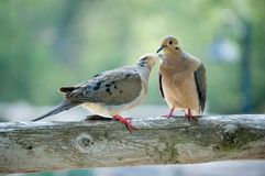 Two loving birds. Two loving back lit birds sitting on a log royalty free stock images