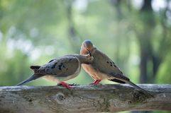 Two loving birds. Two loving back lit birds sitting on a log royalty free stock photography
