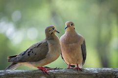 Two loving birds. Two loving back lit birds sitting on a log royalty free stock photos