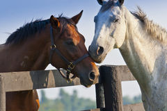 Two loving horses Royalty Free Stock Photos