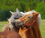 Two loving horses Stock Photography