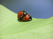 Two loving ladybugs Stock Photo