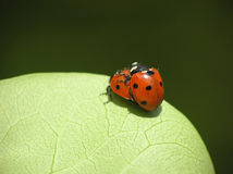 Two loving ladybugs Stock Photography